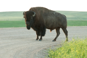 Jaywalking bison.