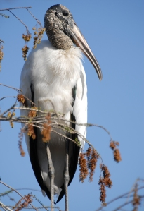 Wood stork. Alligators use these as bait to catch photographers.
