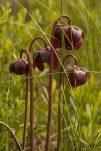 Carnivorous pitcher plants.
