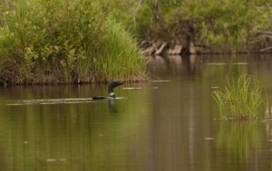 The loons appeared again later in the trip.