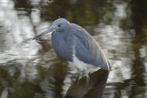 This is not the heron from my yard. I can't photograph that heron, for reasons that will become clear in the post. This heron is from Florida, far away from my yard.