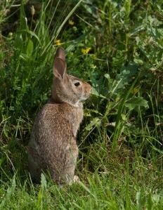 Prairie bunny.