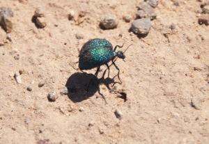 Blue desert blister beetle.