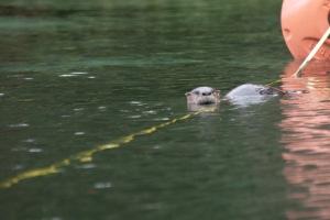 Otter tease in flat light.