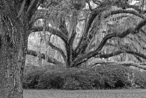 Live oak, central Florida