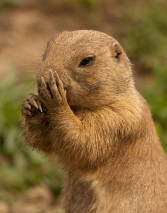 This prairie dog would commit suburban sprawl if it could.
